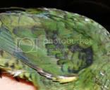 Shoulder of a male green Lineolated Parakeet